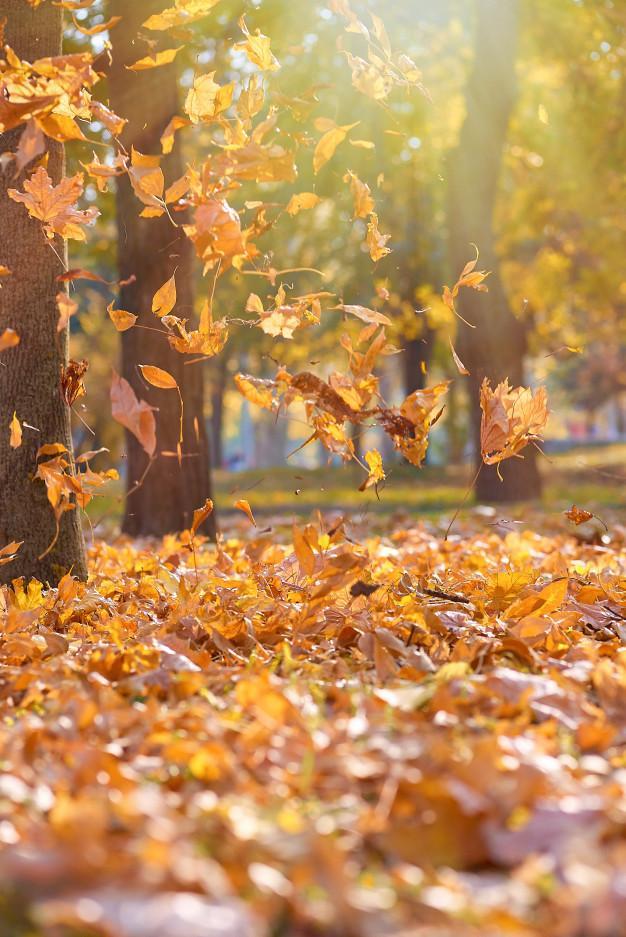 Feuilles seches orange jaune vif qui volent dans airs dans parc automne aux rayons du soleil du soir 116441 6928